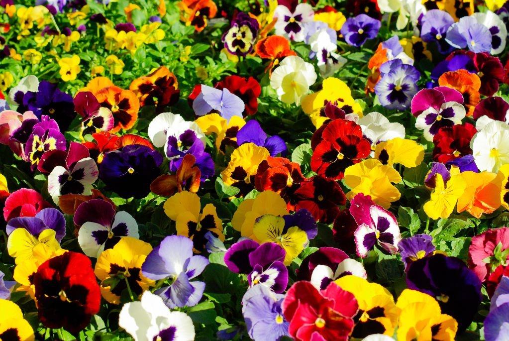 Fototapeta kwiat bratki 382 deco wall for Planta perenne en maceta de invierno